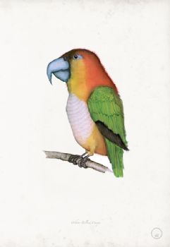 White Bellied Caique - artist signed print